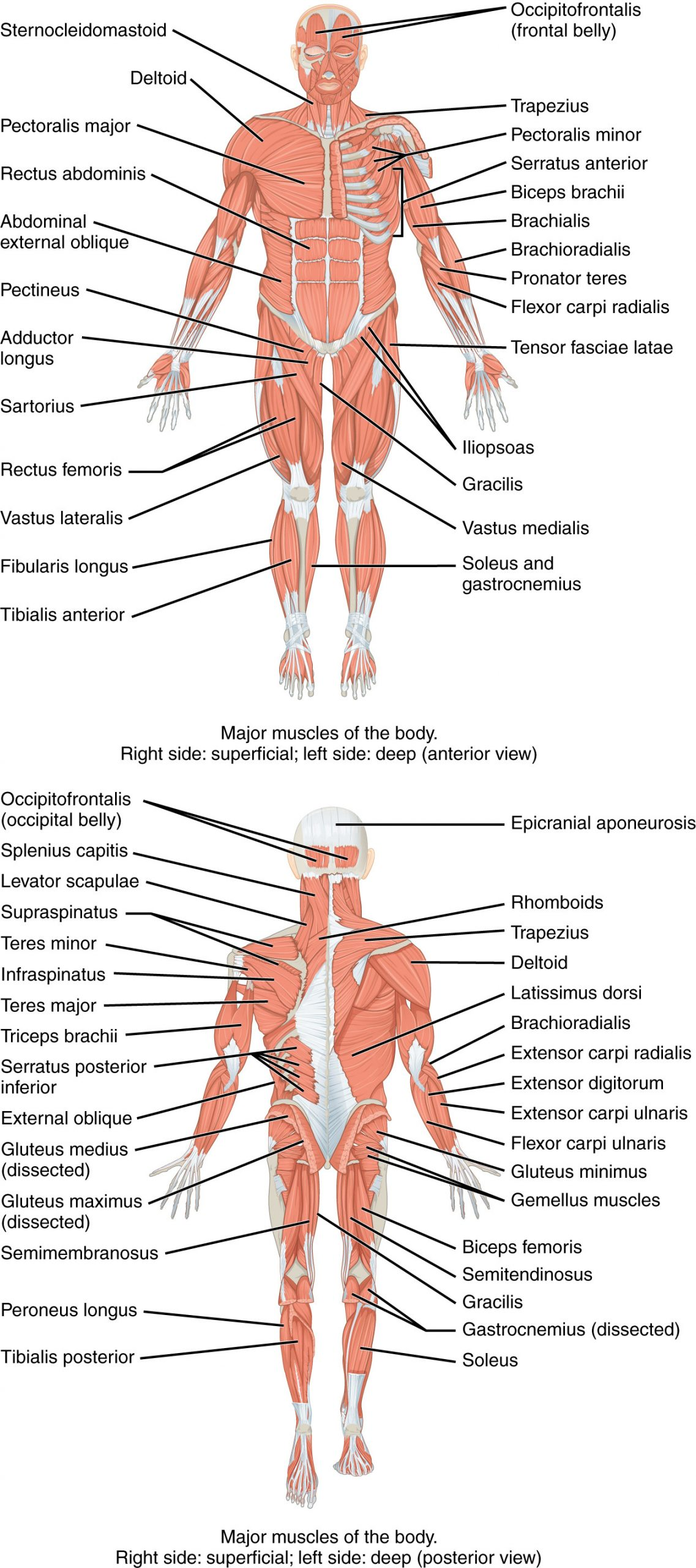 Appendicular Skeleton Worksheet Answers 11 2 Naming Skeletal Muscles Anatomy and Physiology