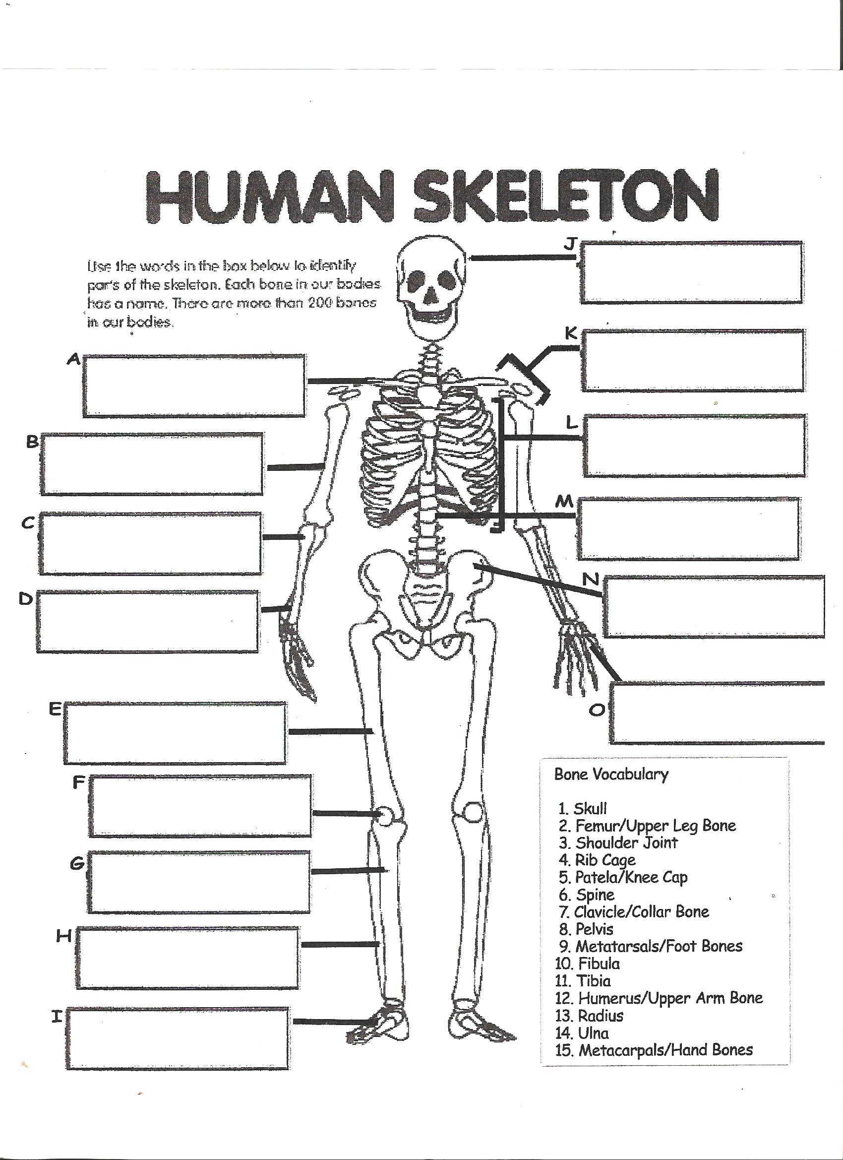 Appendicular Skeleton Worksheet Answers 34 Label the Skeleton Worksheet Labels Database 2020