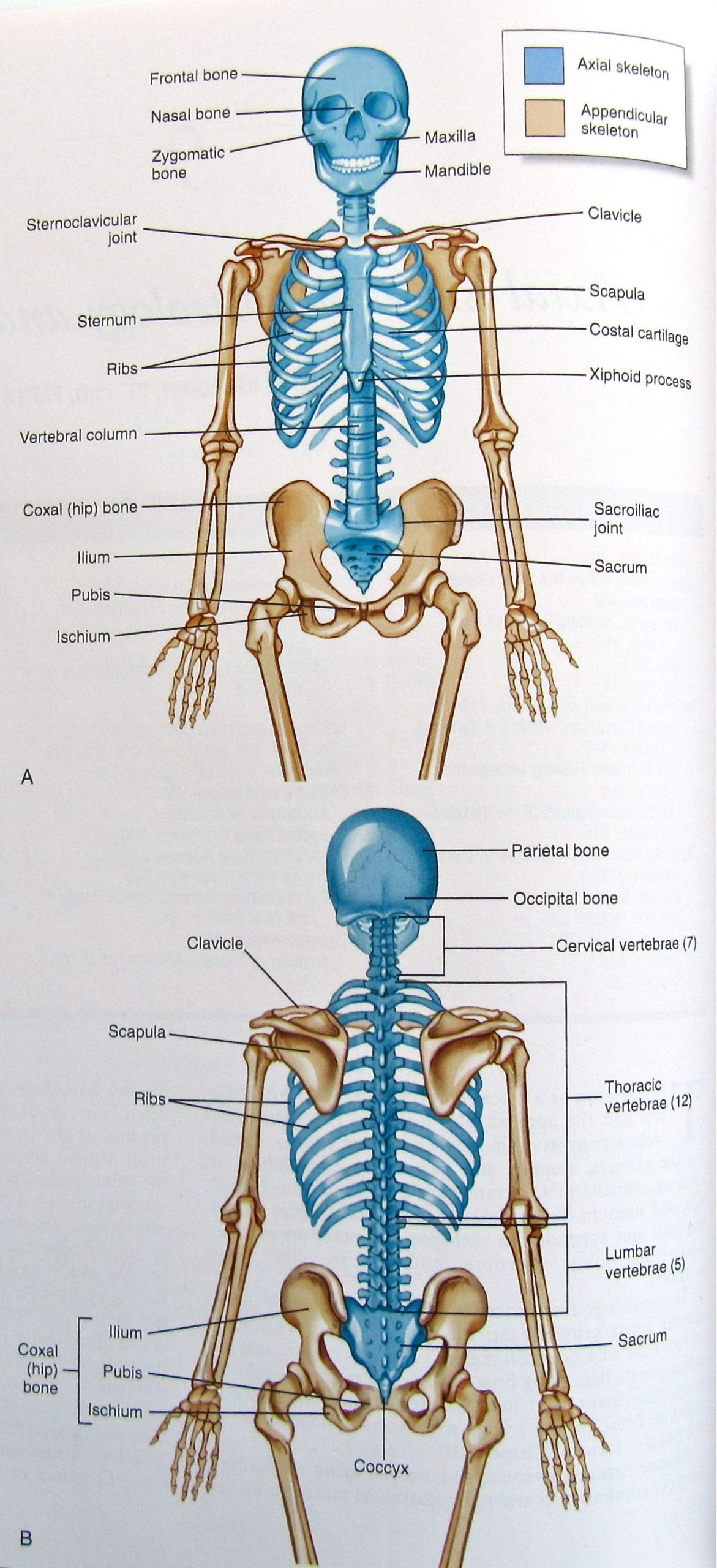 Appendicular Skeleton Worksheet Answers Axial and Appendicular Skeleton Dpress