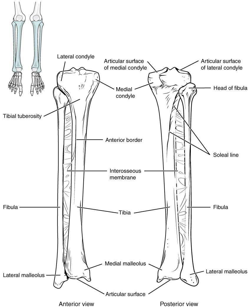 Appendicular Skeleton Worksheet Answers E Book 04 Bones Of the Lower Limb Tibia