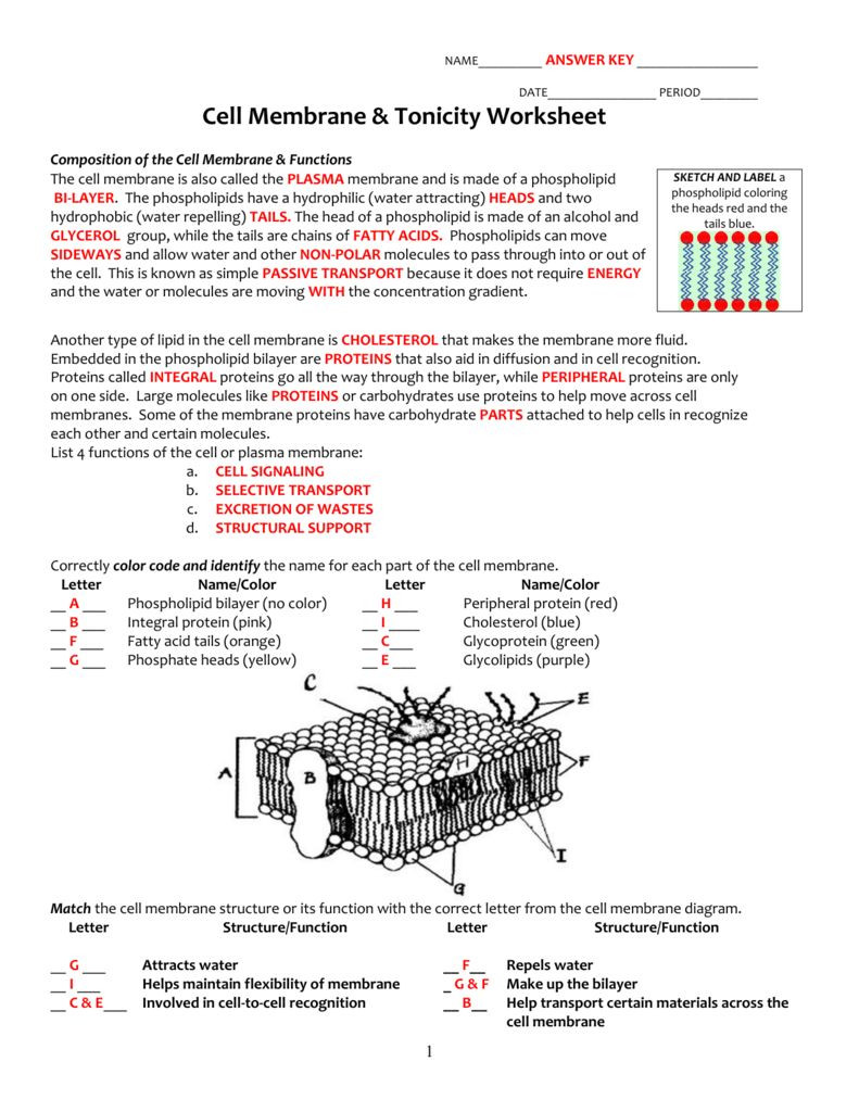 Cell Membrane Images Worksheet Answers Cell Membrane and tonicity Worksheet