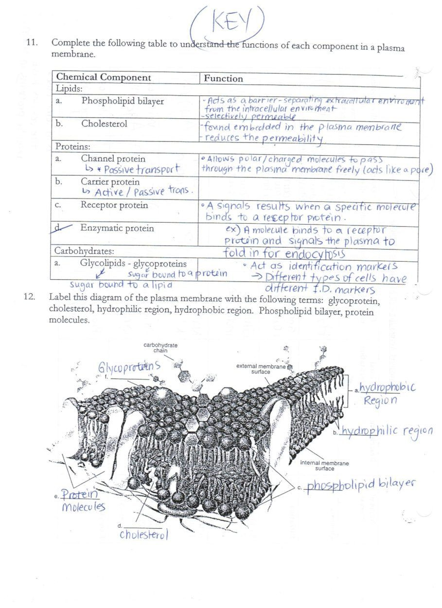 Cell Membrane Images Worksheet Answers Download Acumen Cell Membrane and Transport Worksheet Aaa