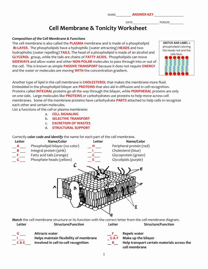 Cell Transport Worksheet Answers Pin On Customize Design Worksheet Line