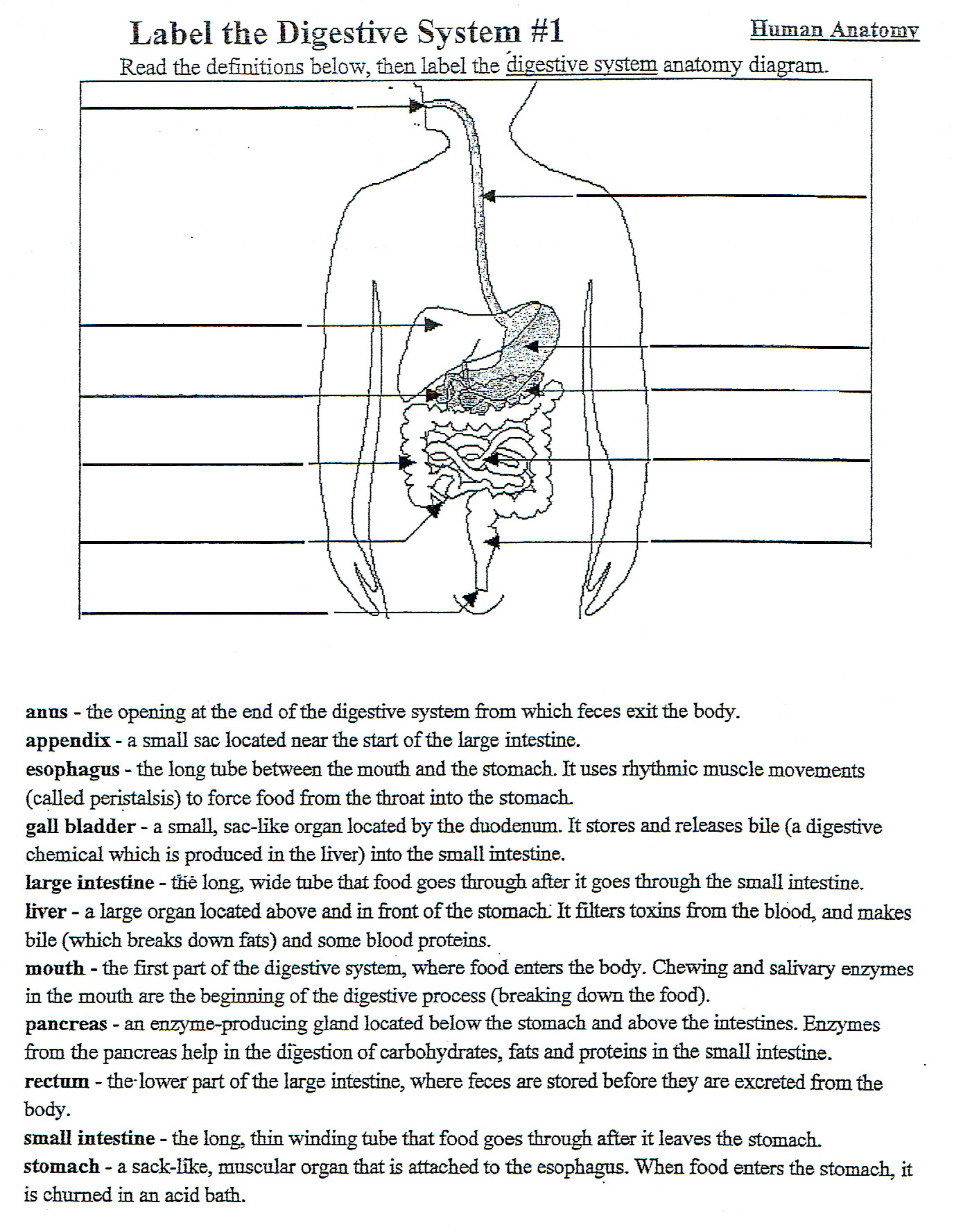 Digestive System Worksheet Answers 5th Grade Digestive System Diagram Diagram Base Website