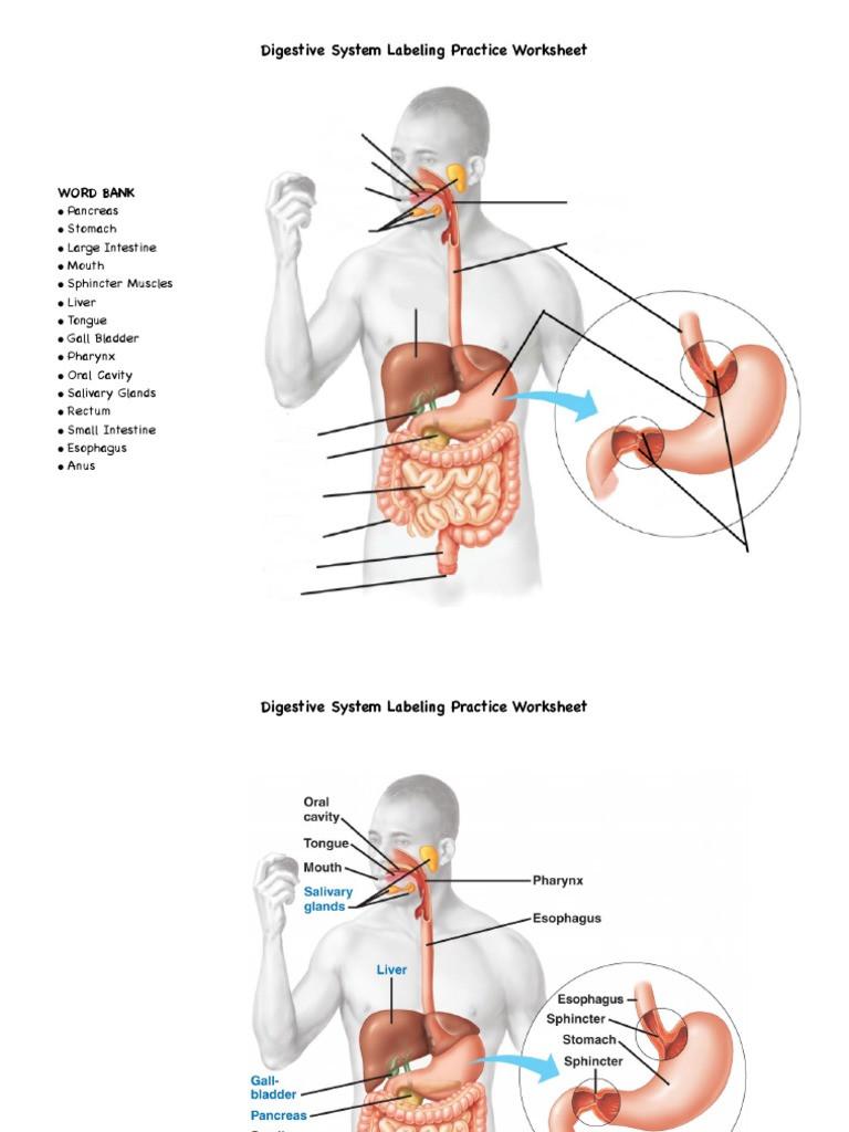 Digestive System Worksheet Answers Digestive System Labeling Practice Worksheet Pdf