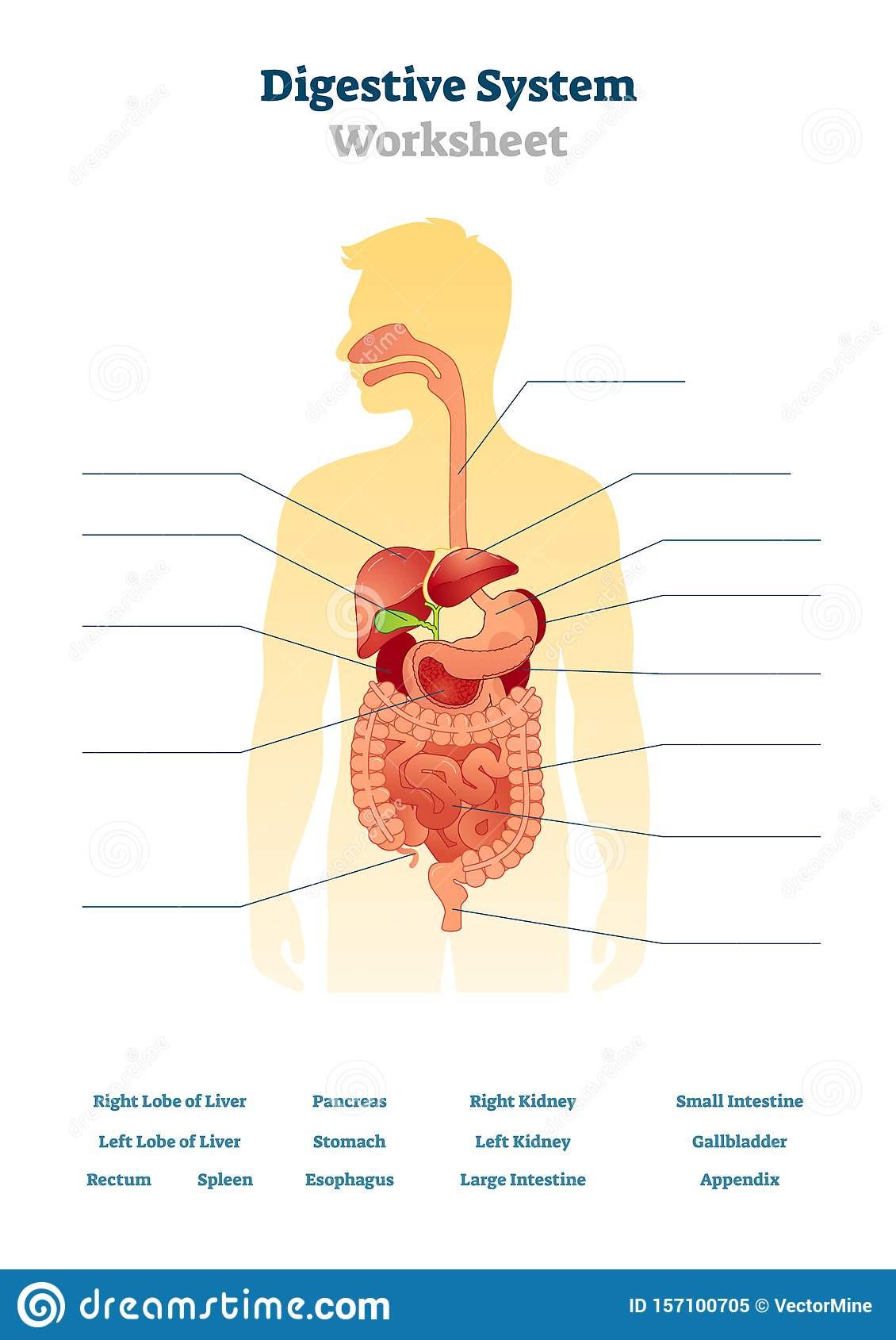 Digestive System Worksheet Answers Digestive System Worksheet Vector Illustration Blank Inner