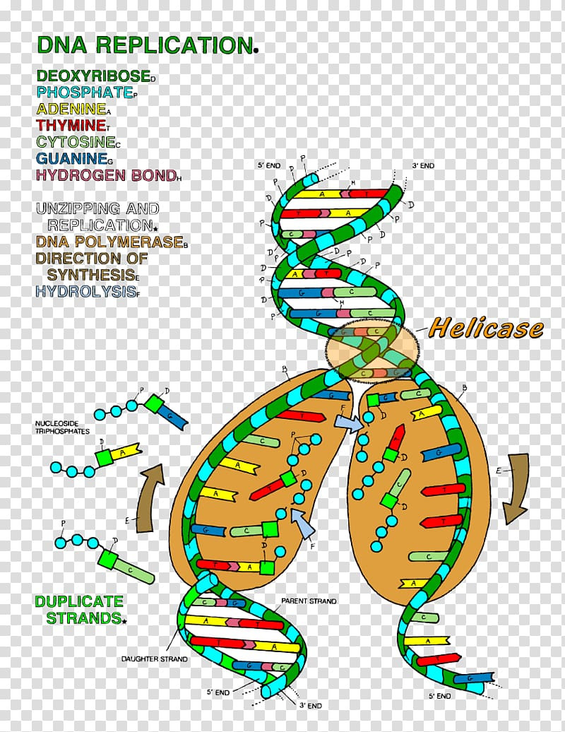 Dna and Replication Worksheet the Double Helix A Personal Account Of the Discovery Of the