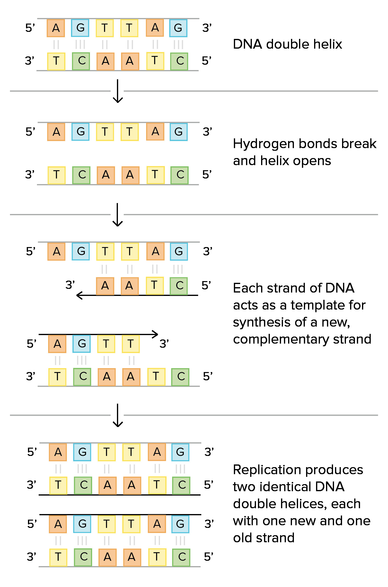 Dna Replication Coloring Worksheet Dna Blueprint Worksheet