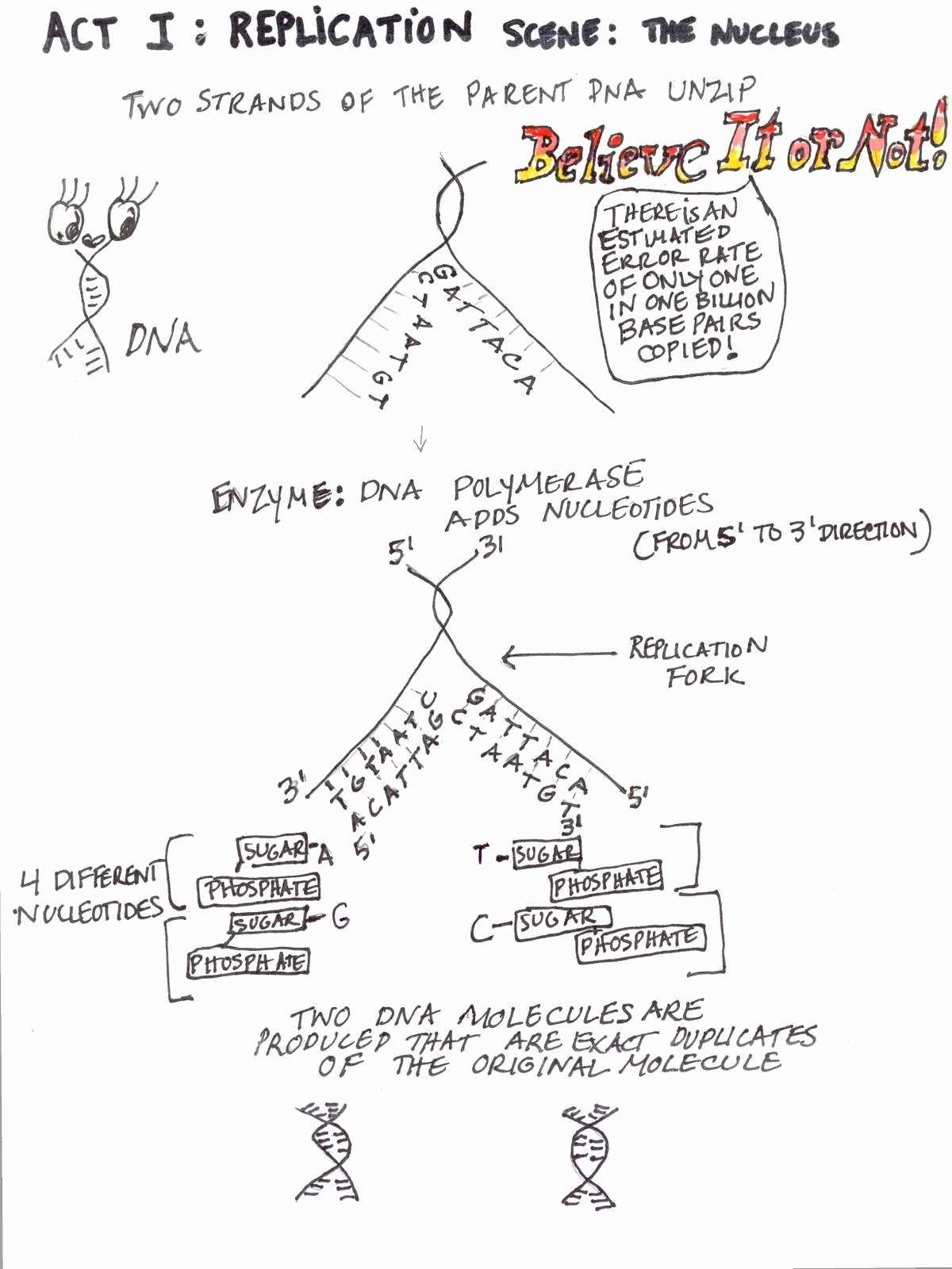 Dna Replication Coloring Worksheet Dna Replication Practice Worksheet Answer Key