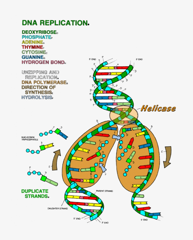 Dna Structure Worksheet Answer Key Dna Replication Coloring Key Worksheet Ideas 19 Dna Dna