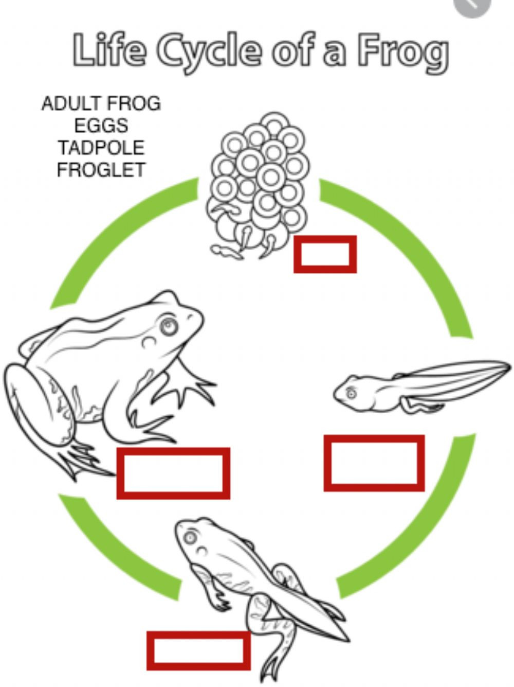 Frog Life Cycle Worksheet Life Cycle Of A Frog Interactive Worksheet