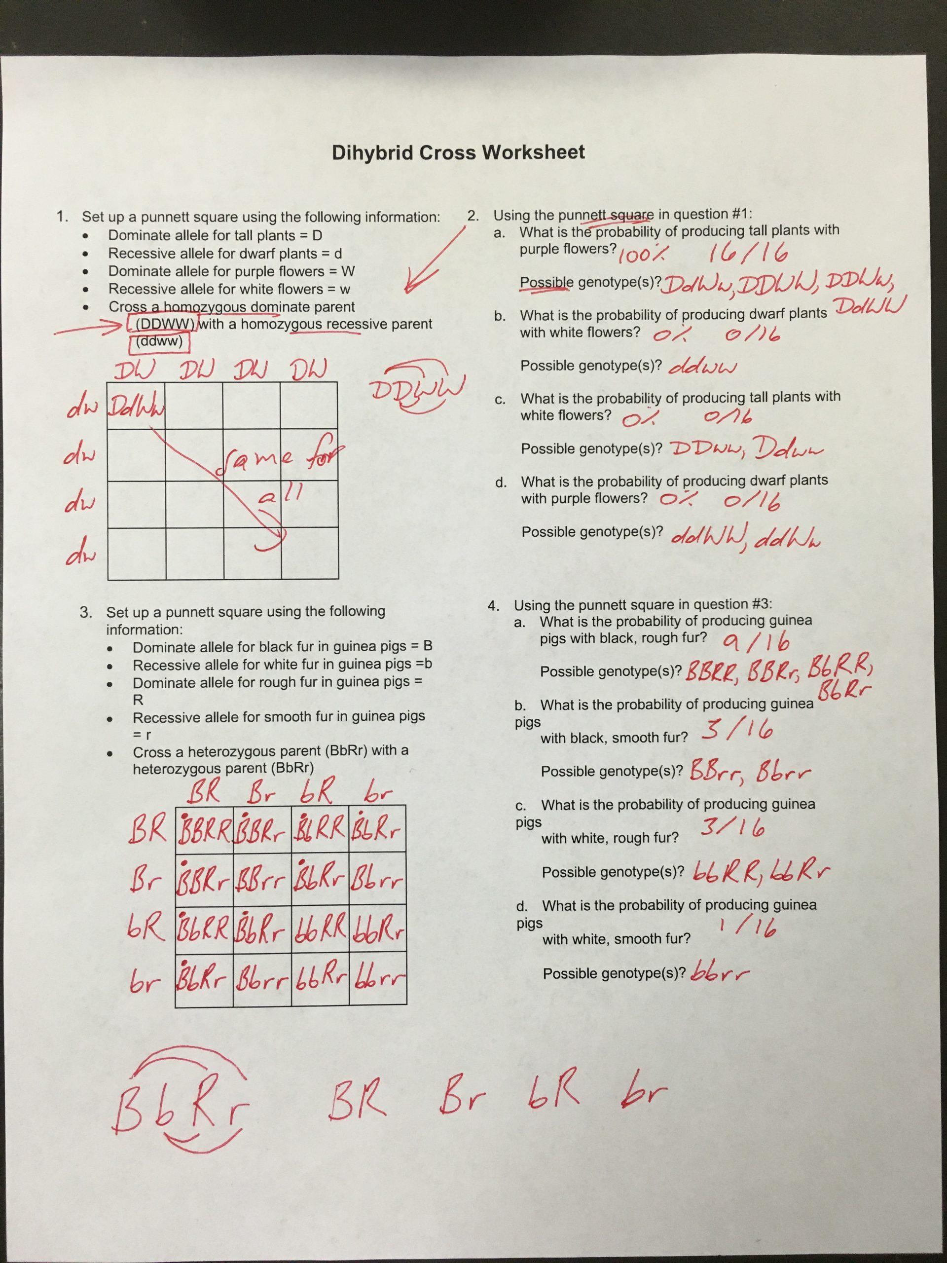 Genetics Practice Problems Worksheet Answers Worksheet Dihybrid Crosses Unit 3 Genetics Answer Key