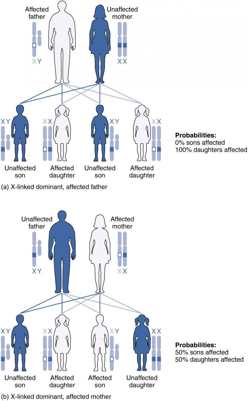 Genetics X Linked Genes Worksheet Heredity and Genetic Counseling