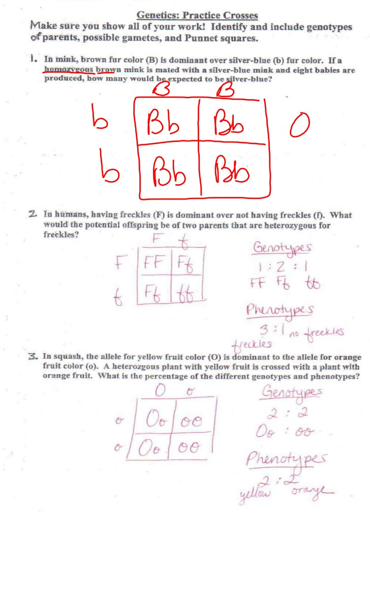 Genotypes and Phenotypes Worksheet Answers Genetic Review for Test