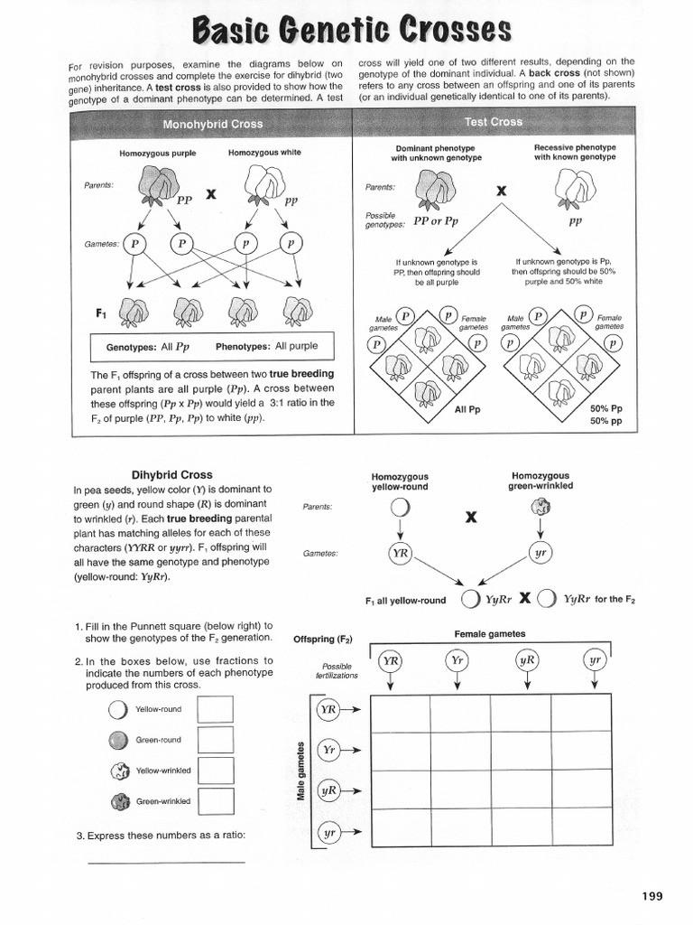 Genotypes and Phenotypes Worksheet Basic Genetic Crosses