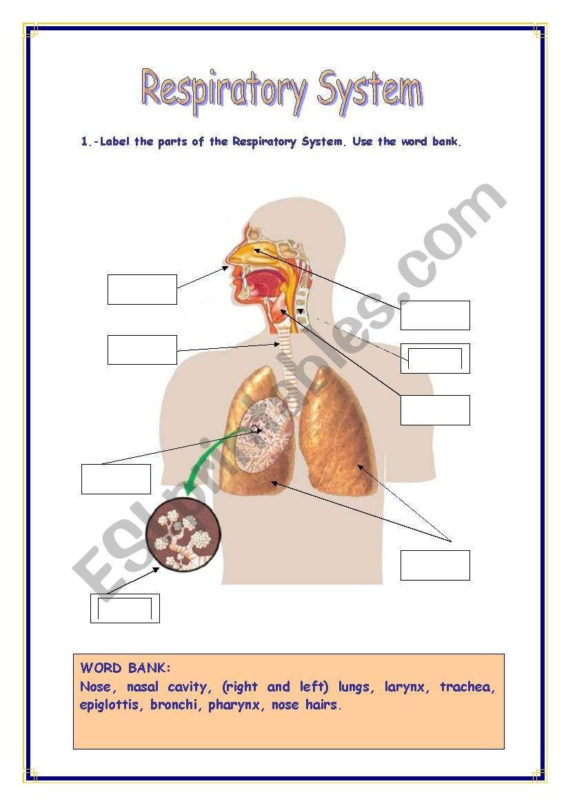 Respiratory System Worksheet Pdf Respiratory System Esl Worksheet by Refuerzo