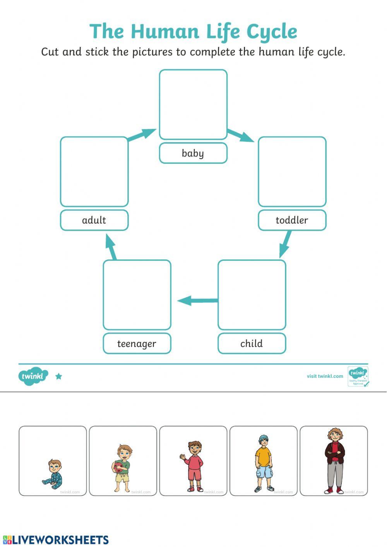 Rock Cycle Diagram Worksheet Human Life Cycle Interactive Worksheet