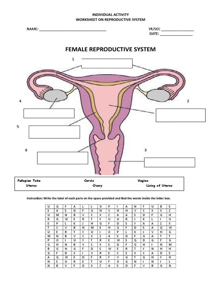The Female Reproductive System Worksheet Individual Activity Reproductive System