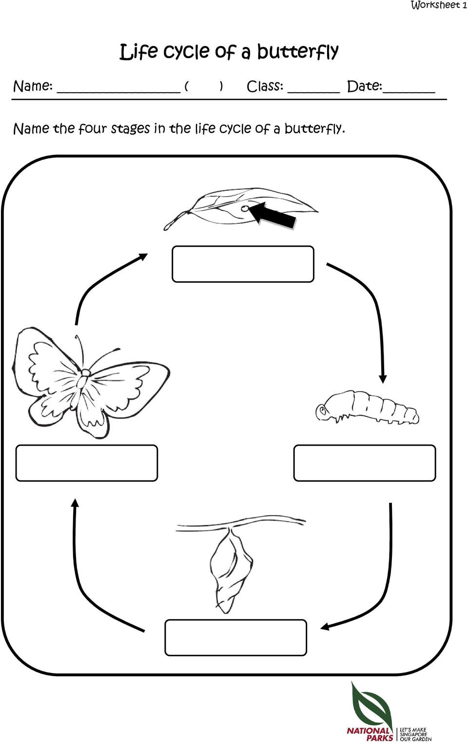 Butterfly Life Cycle Worksheet 2 Worksheets Caterpillars Of Singapore S butterflies