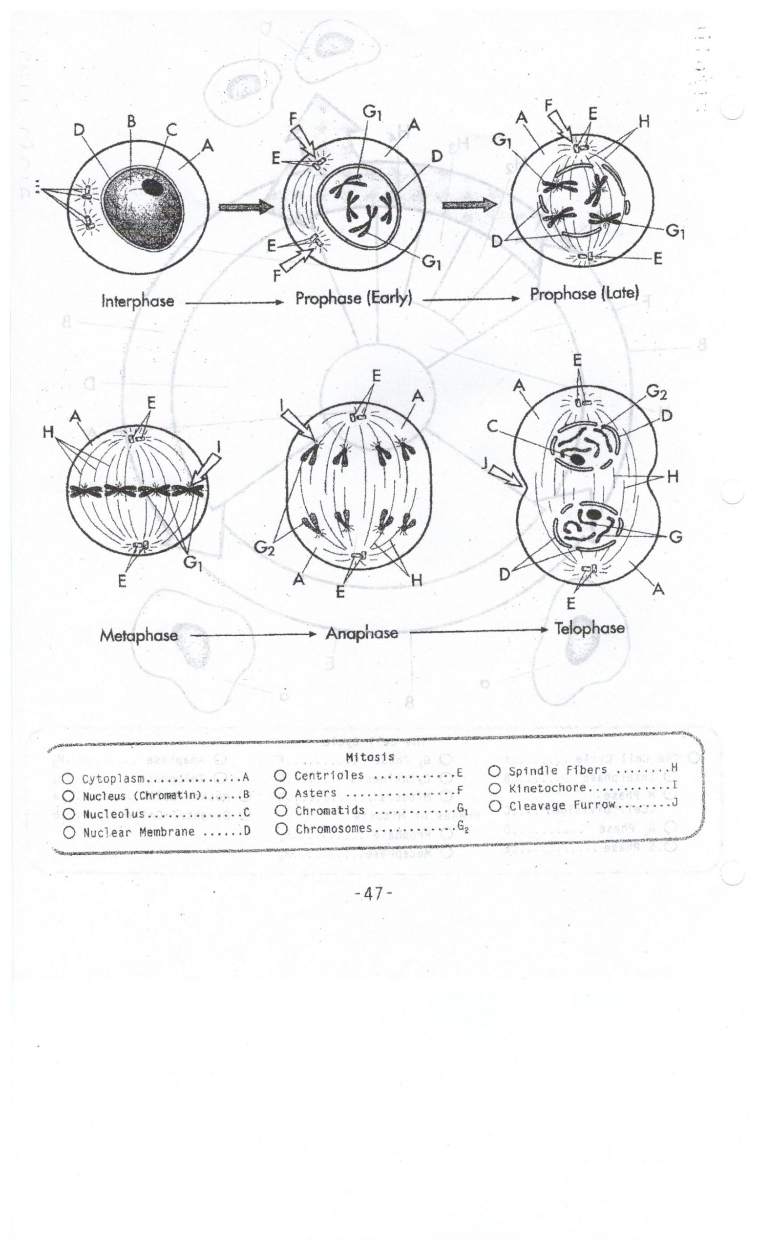 Cell Cycle Coloring Worksheet Biocp