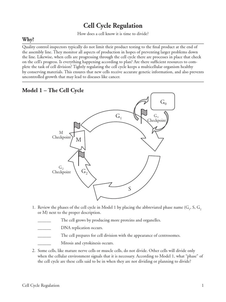 Cell Cycle Worksheet Answers Cell Cycle Regulation Pogil Activities for Ap Biology Essay
