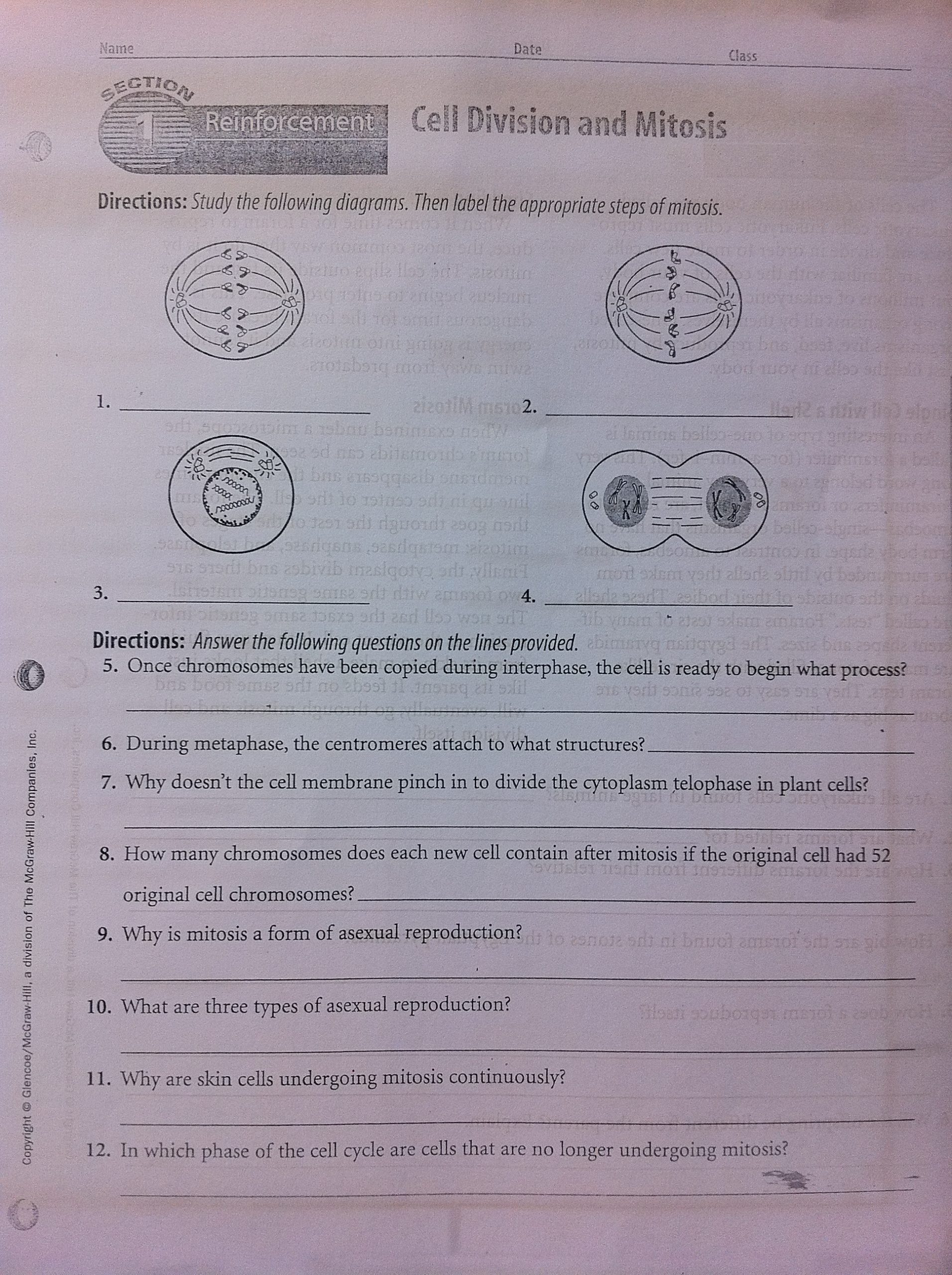 Cell Cycle Worksheet Answers Cells & Mitosis Reinforcement