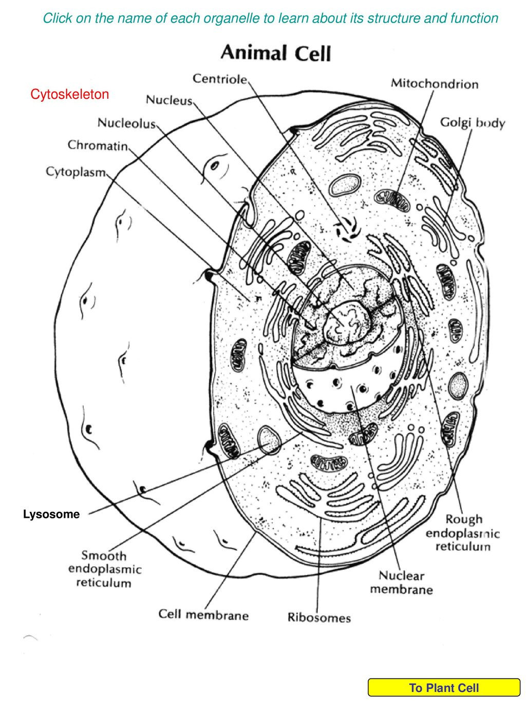 Cells and their organelles Worksheet On the Name Of Each organelle to Learn About Its