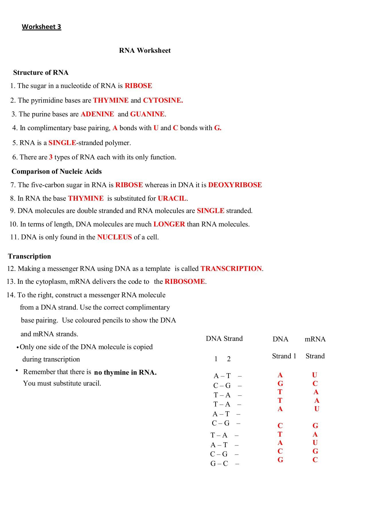 Dna and Rna Worksheet Rna Worksheet Ribose Thymine Cytosine Adenine Guanine A U