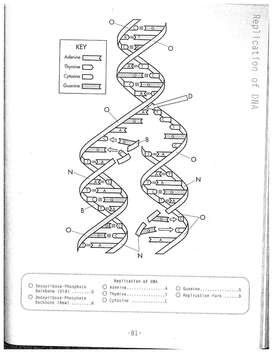 Dna Structure and Replication Worksheet Dna Coloring Worksheets