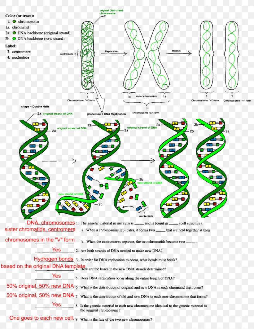 Dna Structure and Replication Worksheet the Double Helix A Personal Account the Discovery the