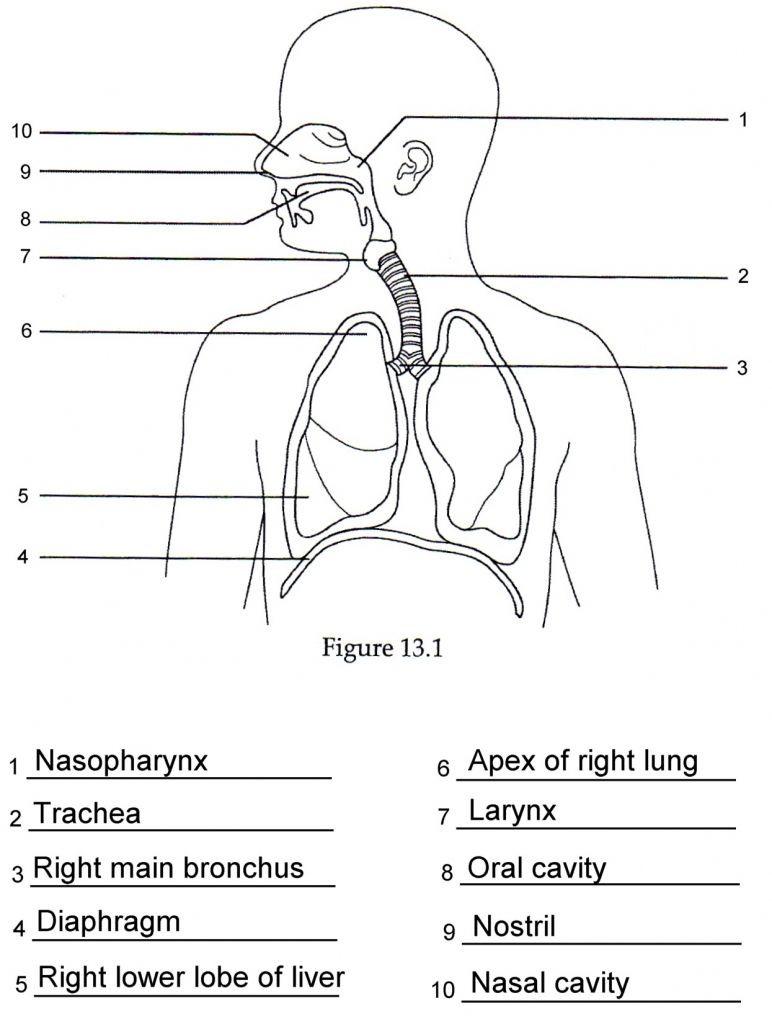 Free Body Diagram Worksheet Answers Worksheet the Human Respiratory System Worksheet Answers