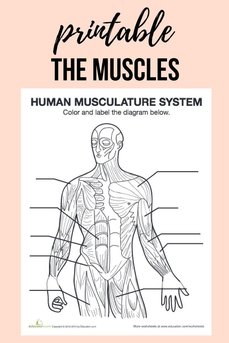 Inside the Living Body Worksheet Muscle Diagram
