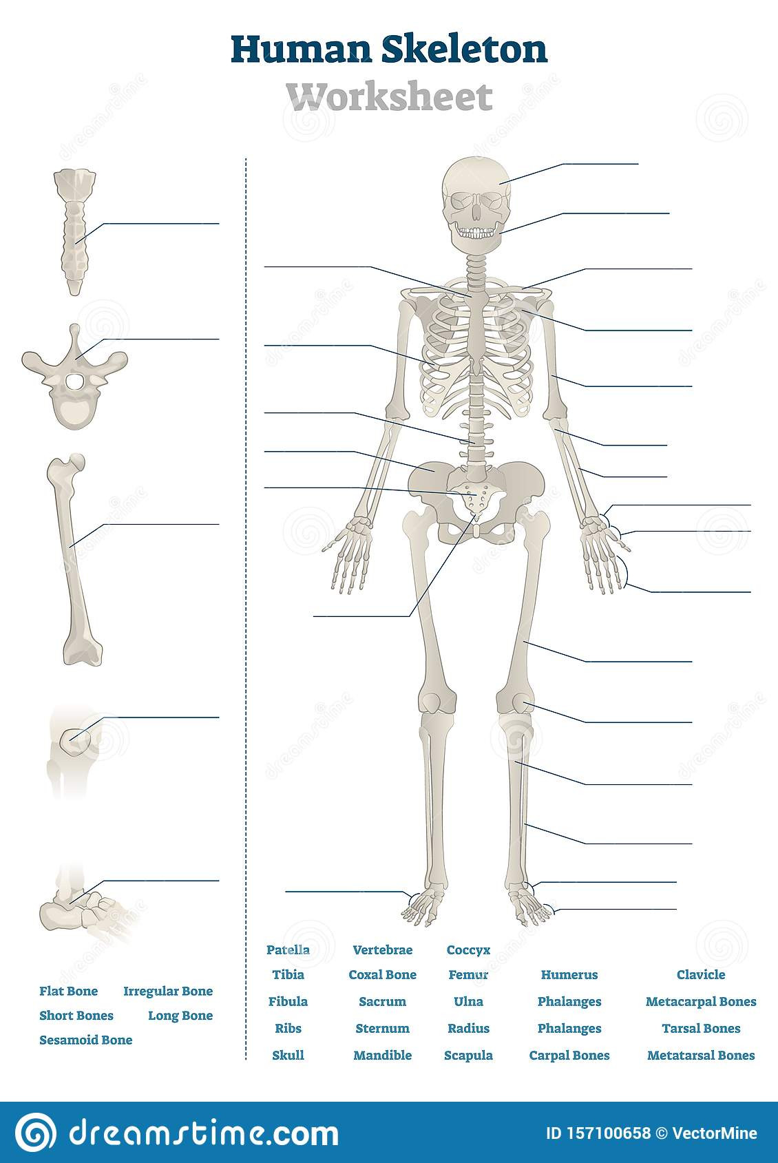 Joints and Movement Worksheet Human Skeleton Worksheet Vector Illustration Blank