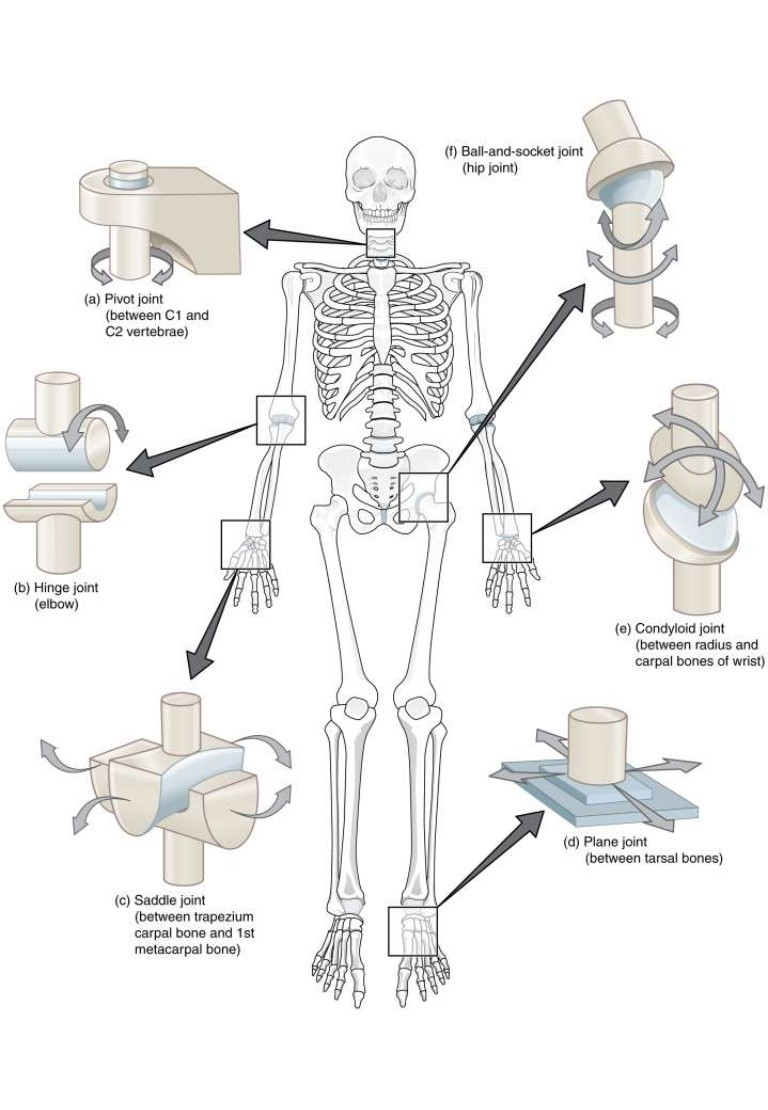 Joints and Movement Worksheet Types Of Joint Worksheet