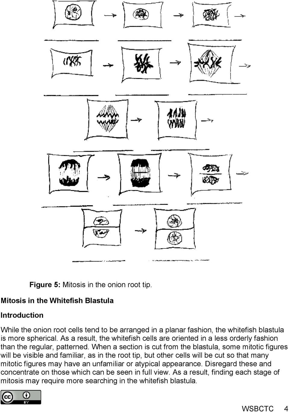 Onion Cell Mitosis Worksheet Answers 1 Identify Each Phase Of Mitosis On the Onion Root Tip and