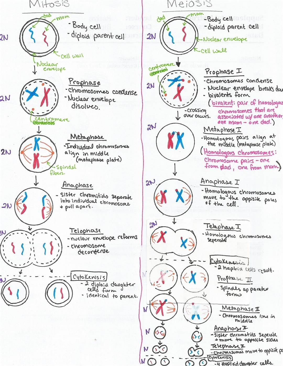 Onion Cell Mitosis Worksheet Answers Meiosis Stages Worksheet I§in Resim sonucu