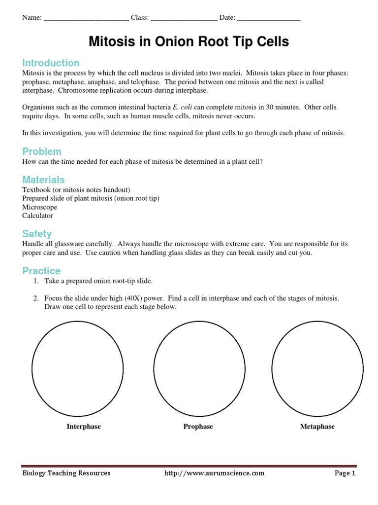 Onion Cell Mitosis Worksheet Answers Mitosis In Ion Root Tip Cells Lab Mitosis