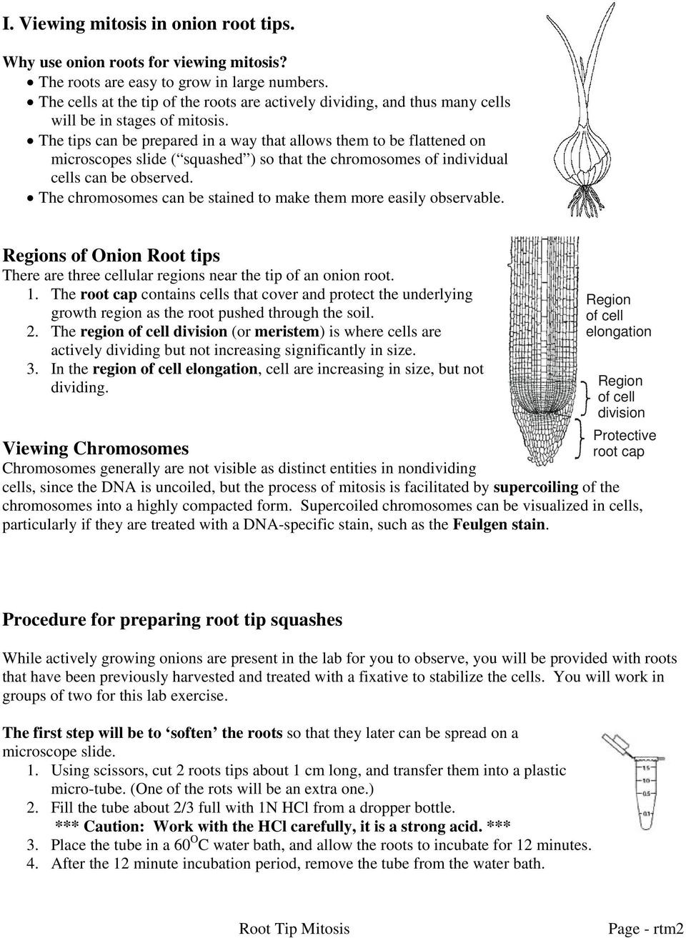 Onion Cell Mitosis Worksheet Answers Mitosis In Ion Root Tip Cells Pdf Free Download