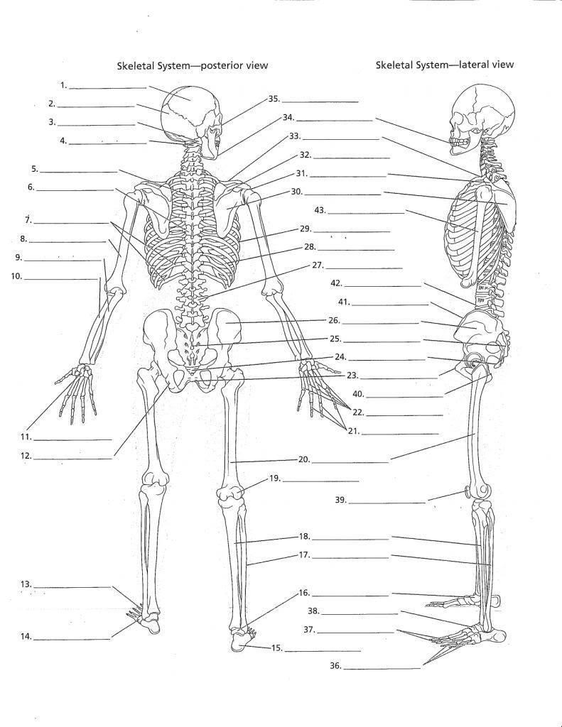 The Skeletal System Worksheet 34 Blank Skeleton Diagram to Label Labels Database 2020
