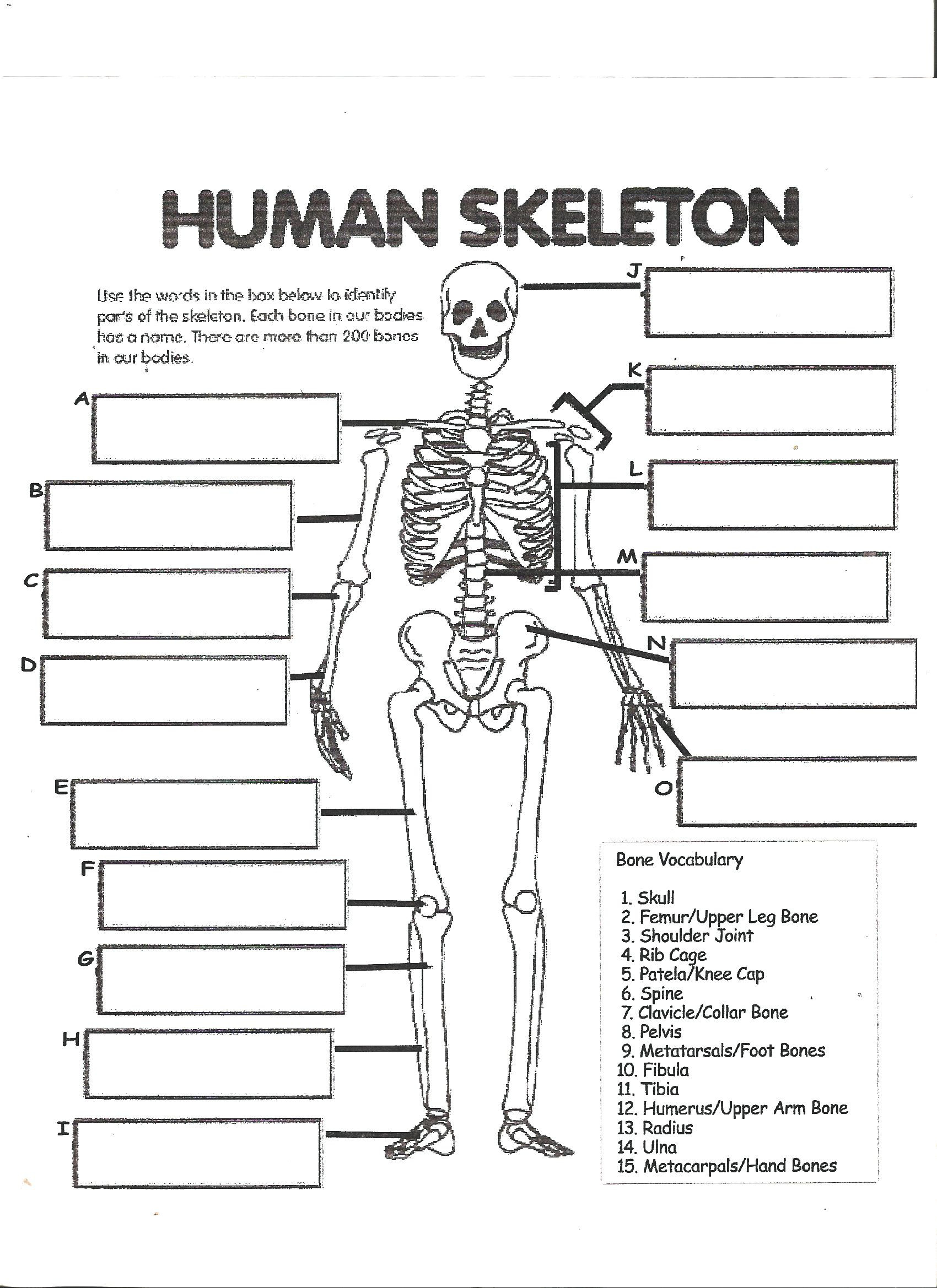 The Skeletal System Worksheet Digestive System Labeling Worksheet Answers Human Skeleton