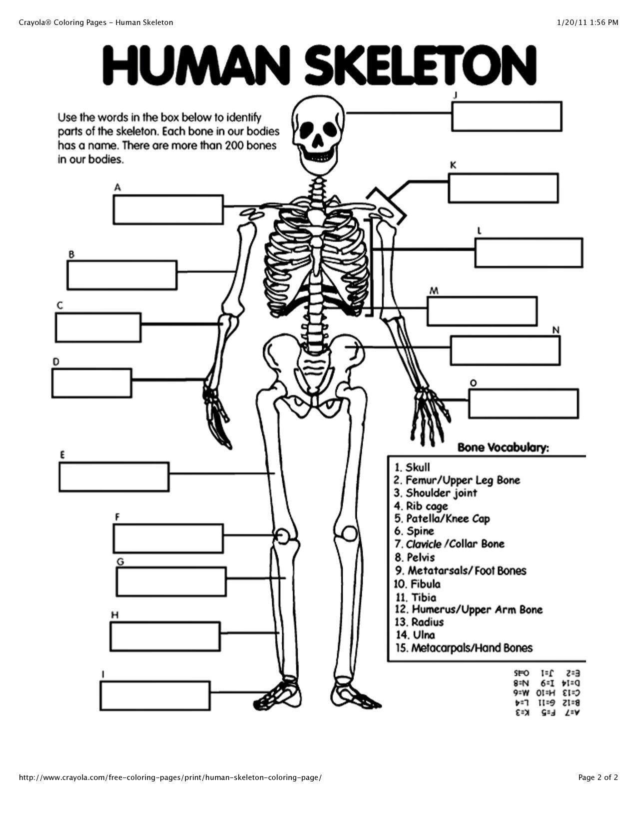The Skeletal System Worksheet Human Anatomy for Beginners