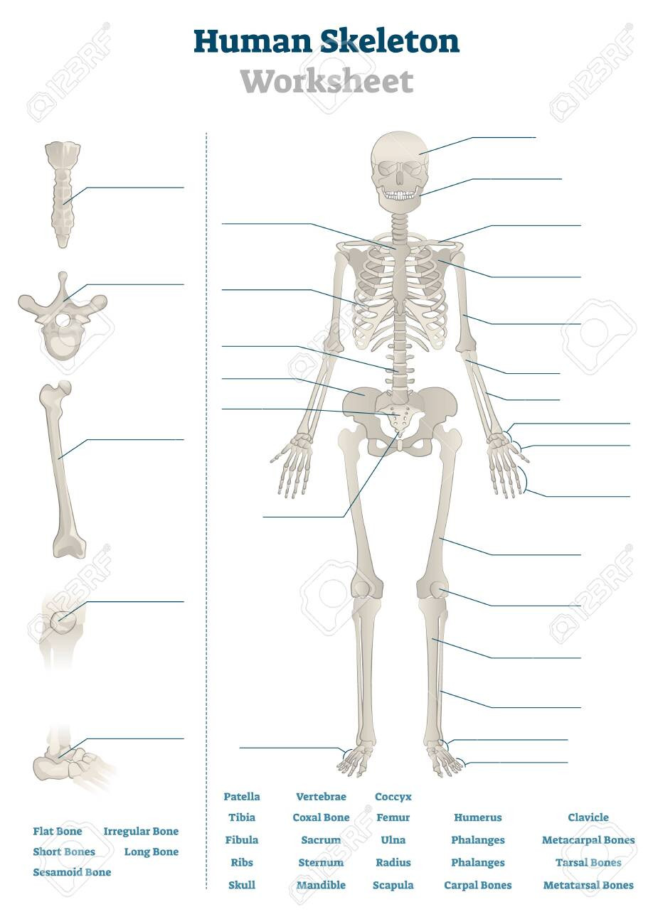 The Skeletal System Worksheet Human Skeleton Worksheet Vector Illustration Blank Educational