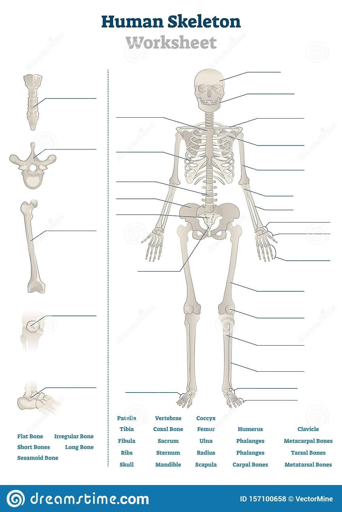 The Skeletal System Worksheet Human Skeleton Worksheet Vector Illustration Blank