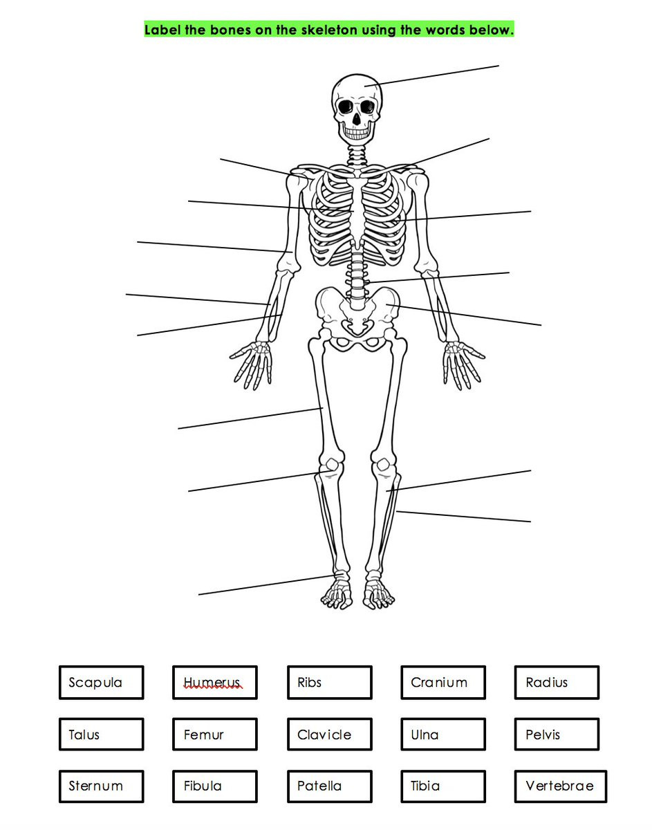 """The Skeletal System Worksheet Miss Fentiman On Twitter """"aqa Gcse Differentiated"""