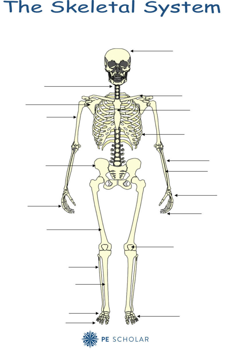 The Skeletal System Worksheet Skeletal System Bones and Joints Pe Scholar