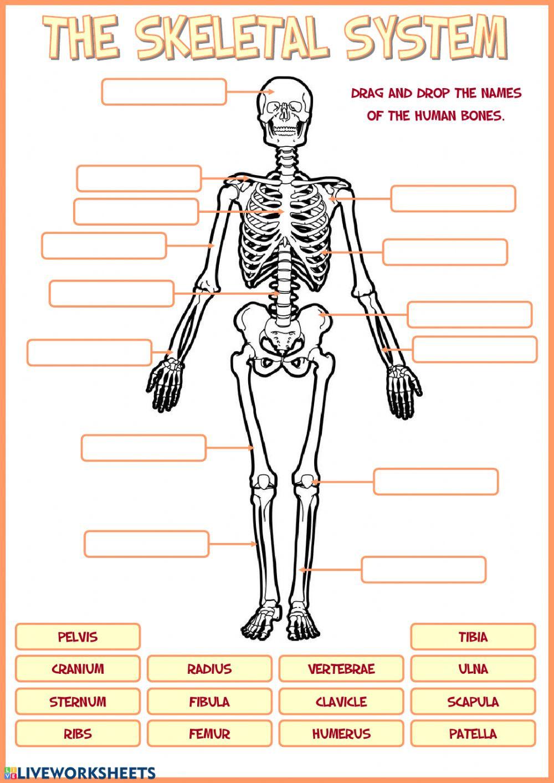 The Skeletal System Worksheet Skeletal System Interactive Worksheet