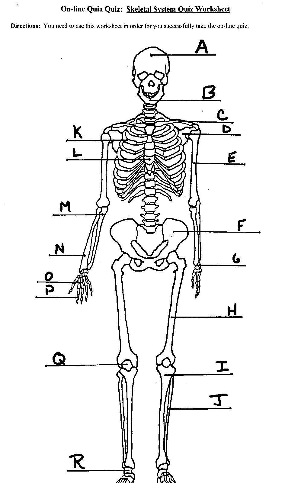 The Skeletal System Worksheet Skeletal System