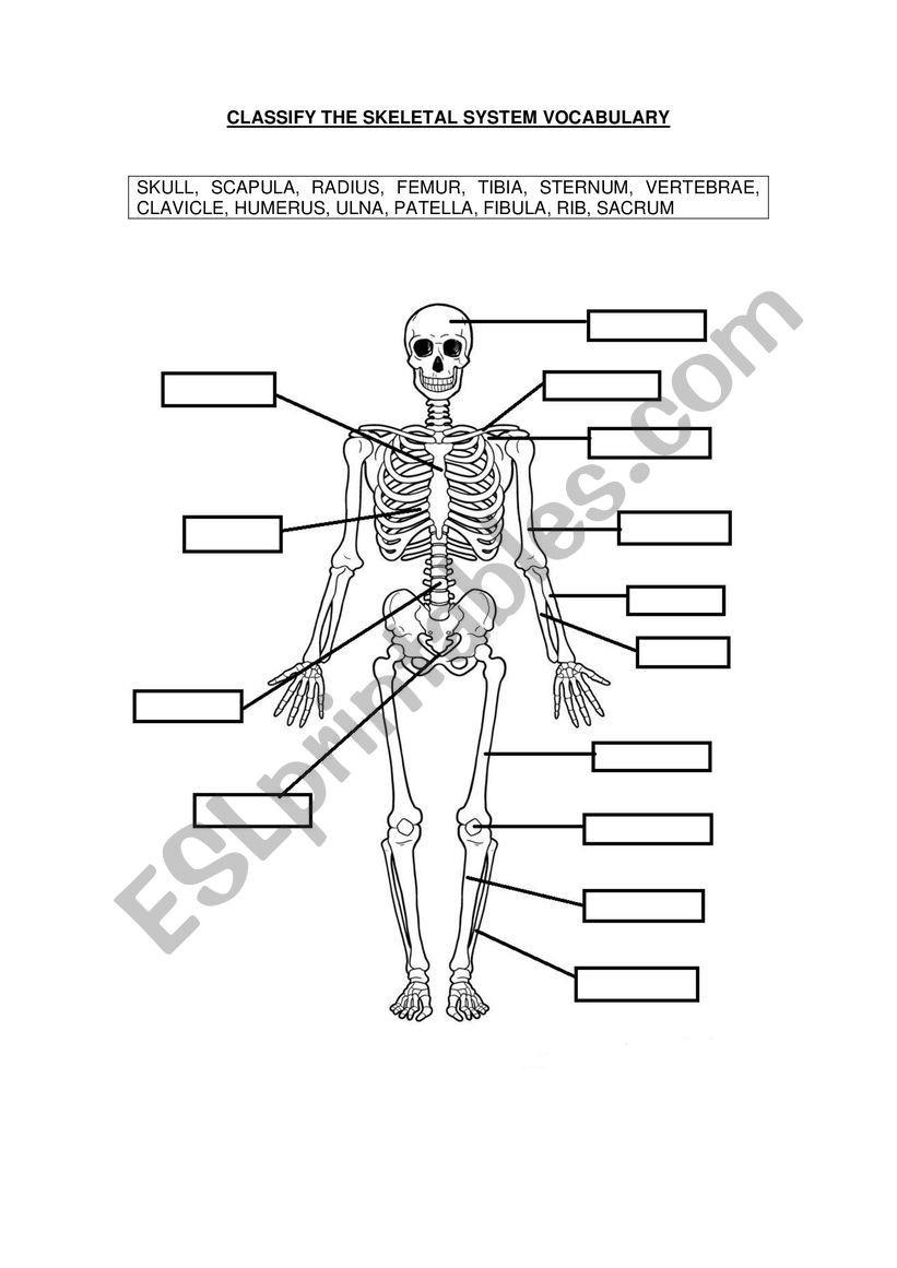 The Skeletal System Worksheet Skeletal System Vocabulary Esl Worksheet by Gems86