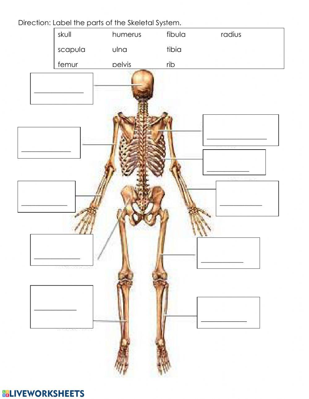 The Skeletal System Worksheet Skeletal System Worksheet