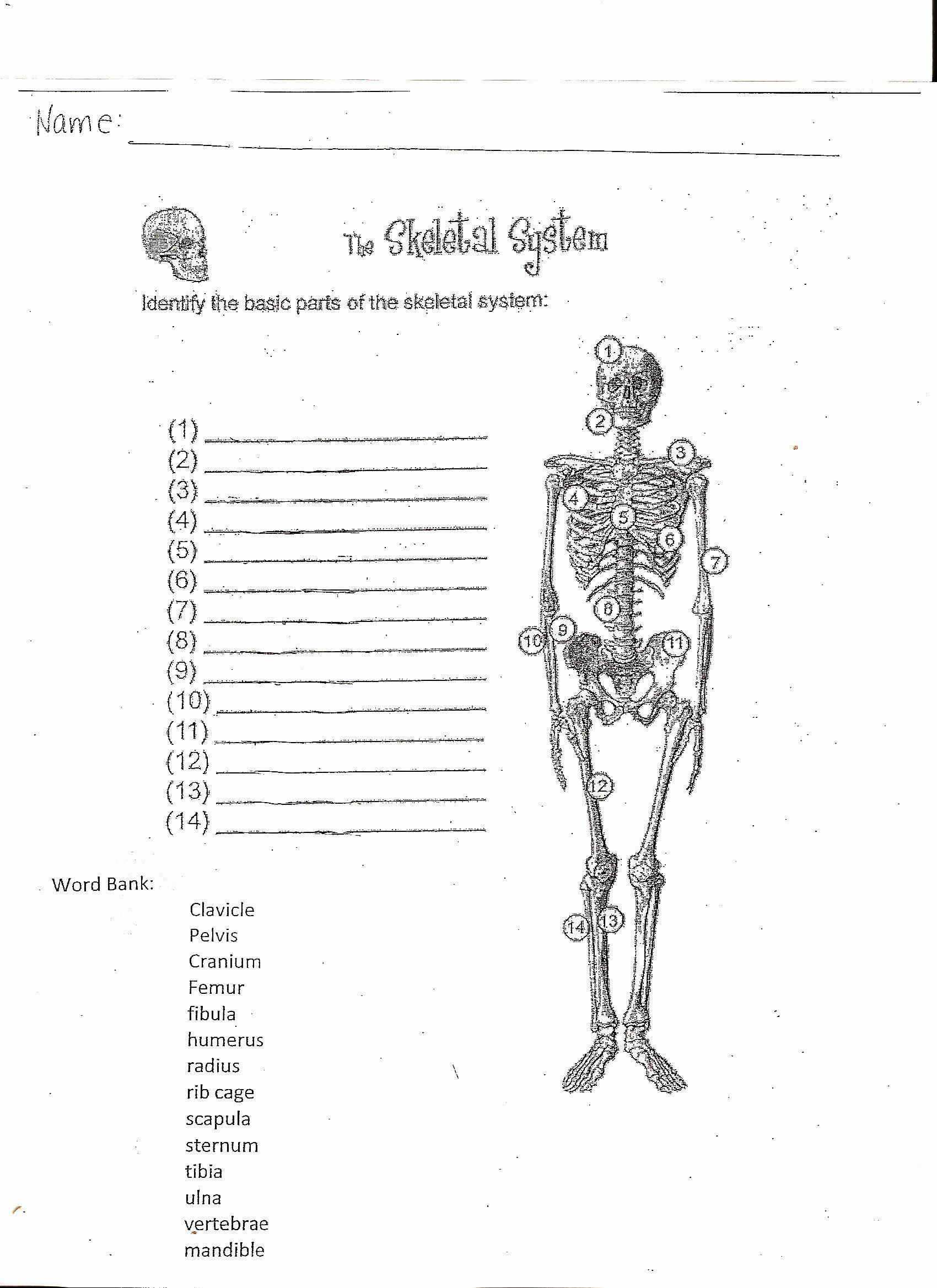 The Skeletal System Worksheet Skeletal System Worksheet Pdf New Skeletal System Worksheet
